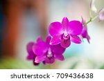 orchid flower in outdoor.   Shutterstock . vector #709436638