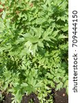 Small photo of Closeup on a lovage plant famous in Easter European cuisine.