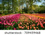 blooming tulips flowerbed in... | Shutterstock . vector #709459468
