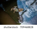 many frogs are found in a pond...   Shutterstock . vector #709468828