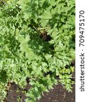 Small photo of Vegetable garden greenery with a closeup on a lovage plant.