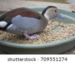 Male Ringed Teal Duck ...