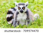 Portrait Of A Ring Tailed Lemu...