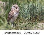 a burrowing owl.   Shutterstock . vector #709574650