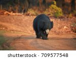 isolated  wild sloth bear ... | Shutterstock . vector #709577548