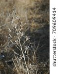Small photo of Desert squill - Urginea undulata