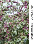 Small photo of lila ripe plum of fruit tree imaage taken in natural context