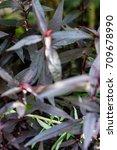 Small photo of leaf of mukunu wenna alternanthera plant medicinal flower