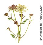 young white and red cow parsley ... | Shutterstock . vector #709702204