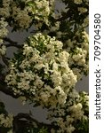 Small photo of White Alyssum,white flower
