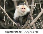 White Faced Capuchin  Cebus...