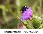Bumblebee Pollinating A Thistl...