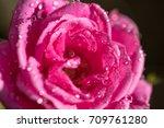 rose flower   Shutterstock . vector #709761280