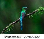 hummingbirds  long tailed... | Shutterstock . vector #709800520