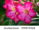 the red pink's azalea flower...   Shutterstock . vector #709874968