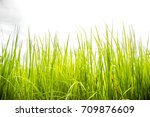 the green rice field in the... | Shutterstock . vector #709876609
