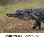 Alligator Crossing A Path In...