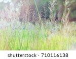 Small photo of Gold beard grass or Scientific name Chrysopogon aciculata