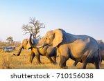 wild elephants at the okavango...   Shutterstock . vector #710156038