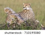 Cheetah Female With Cubs On...
