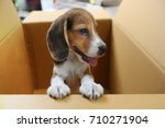 Stock photo an adorable beagle puppy hold the box edge while it s in the box 710271904