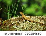 oriental garden lizard  eastern ... | Shutterstock . vector #710284660