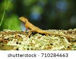 oriental garden lizard  eastern ... | Shutterstock . vector #710284663