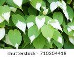 Small photo of Actinidia polygama liana green and white foliage