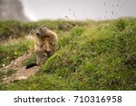curios and in alert marmot  | Shutterstock . vector #710316958