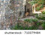 a tiger walking through its... | Shutterstock . vector #710379484
