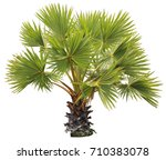 young betel palm on isolate... | Shutterstock . vector #710383078