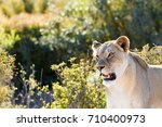 lioness standing and staring at ... | Shutterstock . vector #710400973
