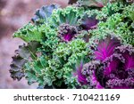 Close Up View Of Kale Cabbage...