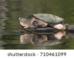 large common snapping turtle ...   Shutterstock . vector #710461099
