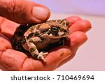 Photo Picture Of A Bufo Common...