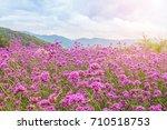 Blooming Verbena Field On...
