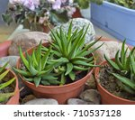 Small photo of Haworthia attenuate – small succulent houseplant