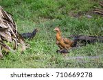 A Big Hen With A Chick In The...