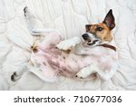 Stock photo pedigree dog fox terrier female lying belly up playful 710677036