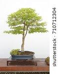 Small photo of Acer palmatum sango kaku bonsai on a wooden table and white background