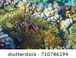 Small photo of Anemonefish in actinia. Tropical seashore animal underwater photo. Coral reef animal. Natural aquarium background. Tropic sea fish and coral. Undersea view of marine life. Coral reef landscape
