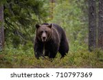 Brown Bear In Taiga Forest