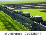 rice paddy plant on conveyor... | Shutterstock . vector #710828344
