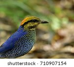 close up head of blue pitta ... | Shutterstock . vector #710907154