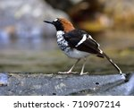 chestnut naped forktail ... | Shutterstock . vector #710907214
