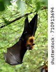 lyle's flying fox  pteropus... | Shutterstock . vector #710913694