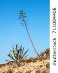 "Small photo of Close to an ""Agave americana"" in South Portugal"