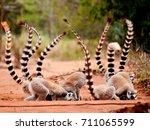 Ringtailed Lemur  Lemur Catta ...