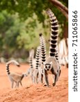 Family Of Ringtailed Lemur ...