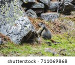 A Wild Marmot At The Park  ...